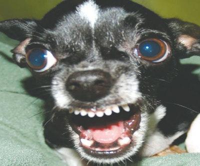 Chihuahuas son más fieros que los pitbull