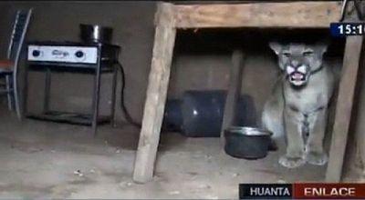 Familia encuentra a un puma debajo de la mesa de la cocina en Perú
