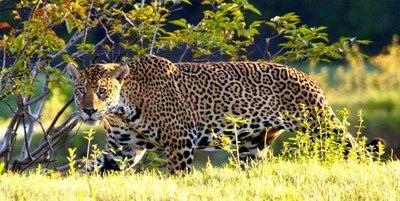 El tráfico ilegal de colmillos amenaza al jaguar