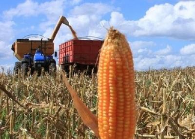Último informa del USDA hizo caer precios del maíz en Chicago