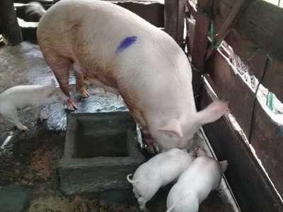 Productores del rubro porcino recibieron capacitación en Caaguazú