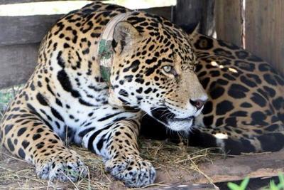 """Jaguar paraguayo """"Chiqui"""" regresa al país tras contribuir con proyecto de conservación"""