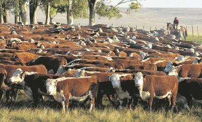Argentina: aumenta la faena de hembras y preocupa al sector