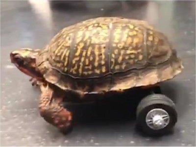 Tortuga que perdió sus patas vuelve a moverse con ruedas de juguete