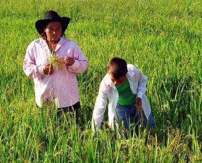 Sequía no detuvo la siembra de arroz