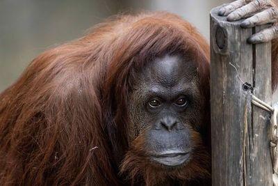 Orangutana declarada sujeto no humano en Argentina en viaje a EE.UU.