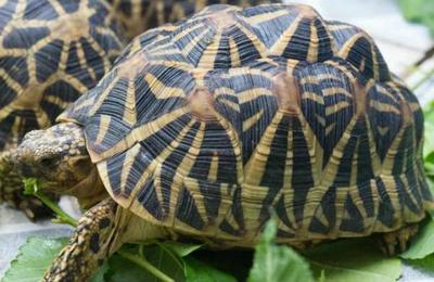 Arrestan a pareja que llevaba 95 tortugas de una especie protegida dentro de una maleta