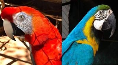 HOY / Roban dos guacamayos del Jardín Botánico: no descartan que aves terminen en el mercado negro