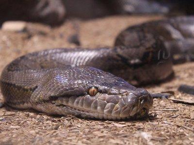 Veterinarios salvan la vida de serpiente pitón que tragó una toalla
