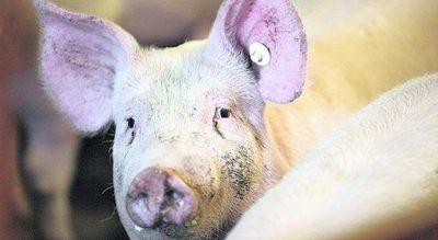 China amplía áreas de cría y acelera la producción de cerdos