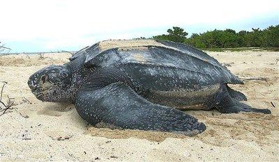 Con los humanos confinados, avistan animales en riesgo de extinción en Caribe Mexicano
