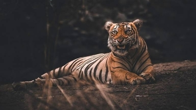 HOY / Una tigresa del zoológico del Bronx contrajo coronavirus y otros cinco felinos se contagiaron