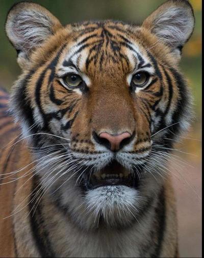 Un tigre da positivo en coronavirus en EE.UU