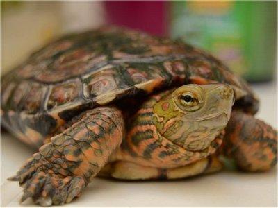 Multan con 400 euros a sexagenaria por pasear a su tortuga en cuarentena