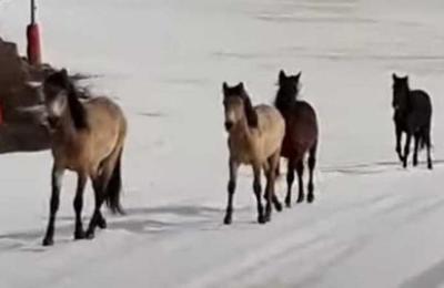 Caballos salvajes corren por un centro de esquí aprovechando la ausencia de seres humanos