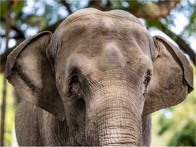 Elefanta Mara llega a su hogar en Brasil tras 50 años entre circos y zoos