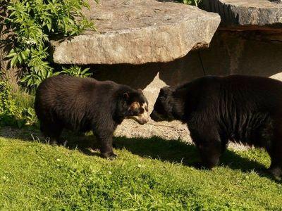 El oso andino carece de rastro genético específico en Ecuador