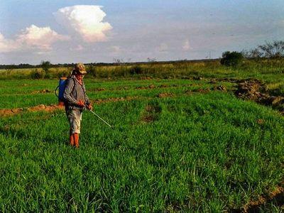 Para aumentar   cosecha de arroz, claman ayuda estatal