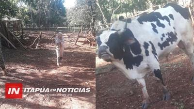 RÁPIDA ACCIÓN DE POLICÍAS ANTIABIGEATO RECUPERAN TORO HURTADO DE UNA ABUELA.