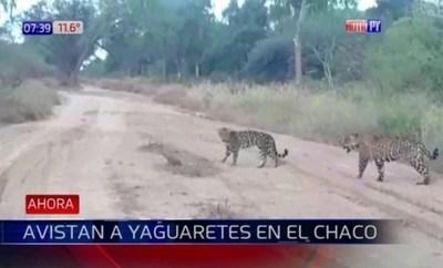Avistan preciosos ejemplares de jaguarete