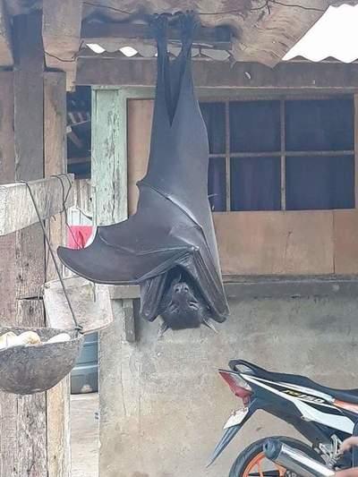 """Impactantes fotos de un """"murciélago de tamaño humano"""" genera susto en redes"""