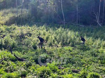 Senad destruyó varias hectáreas de marihuana en el departamento de Amambay