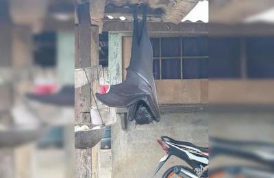 Las impactantes imágenes de un murciélago del tamaño de un humano en Filipinas