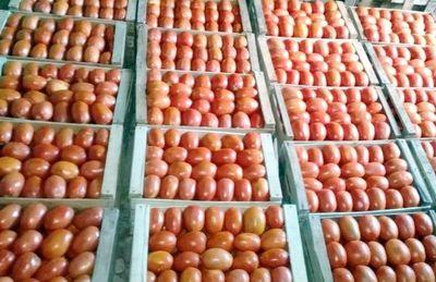 Buena cosecha de tomate en Arroyos
