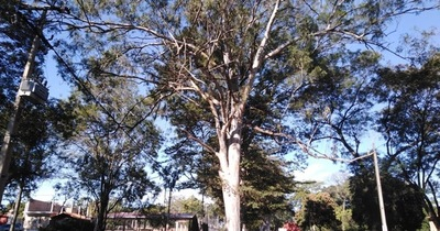Capilla del Monte: estudian entresacar eucaliptos y remplazar por otros