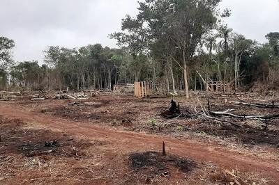 Sorprenden a falsos sintierras de Morombí devastando valiosos árboles para sembrar marihuana