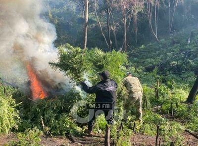 Senad destruye seis hectáreas de marihuana en zona de Fortuna Guazú