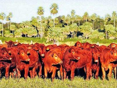 Precio  del ganado con alza sostenida