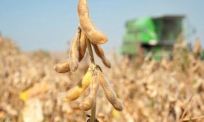» Se redujo siembra de soja zafriña en 25,7%