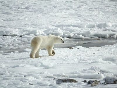 El calentamiento global podría llevar a la extinción de los osos polares antes de 2100