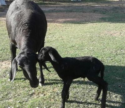 Confirman nueva exportación de ovinos de alto valor genético a Argentina