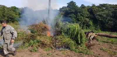 SENAD anuló más de 16 toneladas de Marihuana en Caaguazú