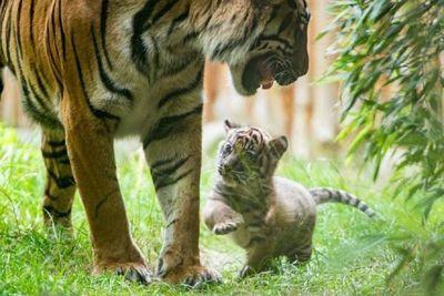 Nace un raro ejemplar de tigre de Sumatra en un zoo de Polonia