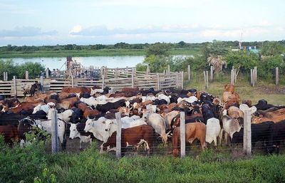 En Alto Paraguay, el hato ganadero creció 700%