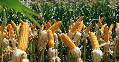 Productores no prevén suba de precios de maíz, a pesar de buen rendimiento