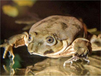 Científicos preservarán a la rana gigante del lago Titicaca