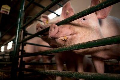 Cría de cerdos en América Latina: ¿oportunidad o trampa?