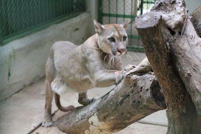 Un ''puma concolor'' es nuevo integrante del Refugio Faunístico Atinguy de la EBY
