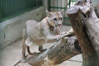 """El Refugio Faunístico """"Atinguy"""" de Yacyretá cuenta con un nuevo ejemplar macho de Puma Concolor"""