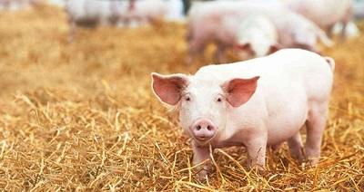 Alerta en Brasil por una nueva gripe porcina que se transmite a los humanos y puede generar una pandemia