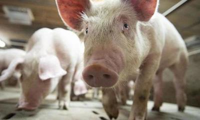 Alerta en Brasil por una nueva gripe porcina que se transmite a los humanos y tiene capacidad de generar una pandemia – Prensa 5