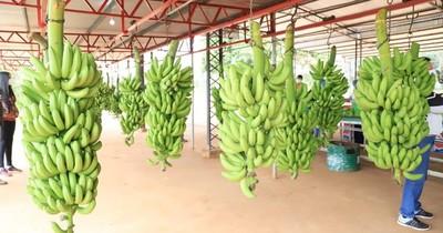 Productores de banana de Cordillera mejorarán calidad y producción con maquinarias recibidas