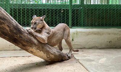 Rescatan a un puma que era tenido como mascota en Salto del Guairá – Diario TNPRESS