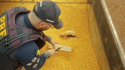 Decomisan 84 kilos de SKUNK en medio de una carga de maíz