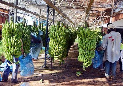 Bananeros preocupados por poca venta