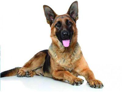 Fallece el primer perro diagnosticado con el Covid-19